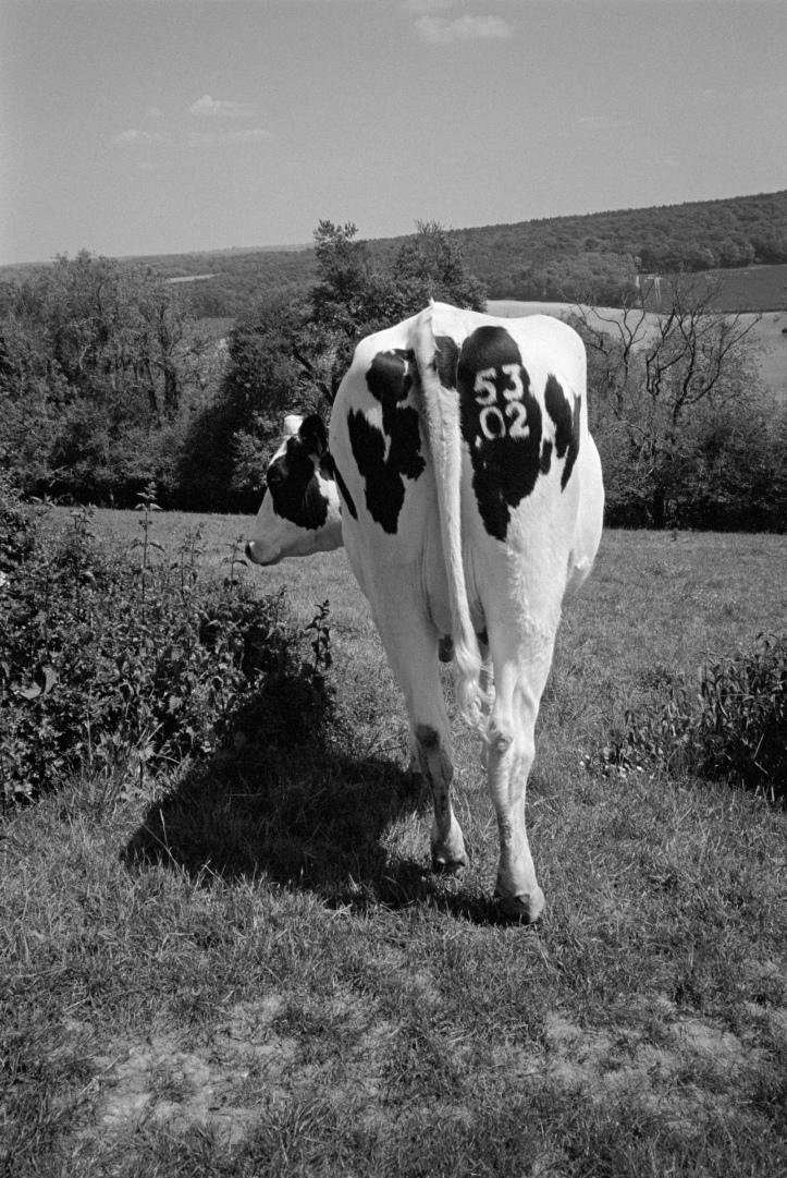 cowsarse